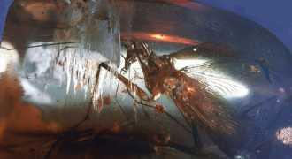 Найден отлично сохранившийся таракан возрастом 100 миллионов лет