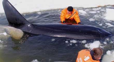 Четырёх косаток освободили из ледяного плена на Сахалине
