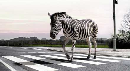 Три зебры бегали по центру Брюсселя