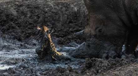 Носорог спас малыша зебры, вытащив его из грязи