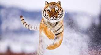 Сто тысяч россиян поддержали амурских тигров