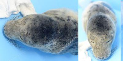 Лейтенант полиции Петербурга спас от гибели тюленёнка