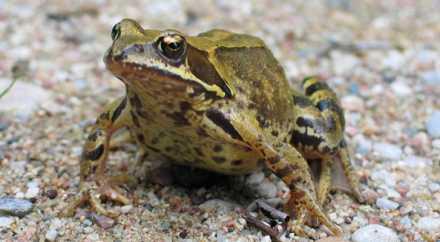 Эстонские экологи-энтузиасты спасли 20000 лягушек