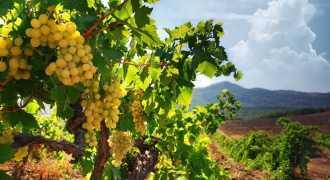 Закладка новых виноградников в Крыму в 2015 году увеличится вдвое