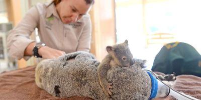 Фото: Детёныш коалы обнимает маму во время операции