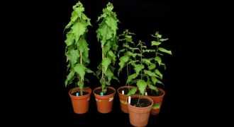 Генетики создали тополя, растущие вдвое быстрее