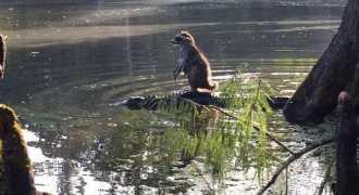 Фото енота, оседлавшего аллигатора, покорило пользователей сети