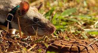 В Африке с помощью крыс очищают минные поля