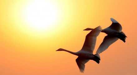 Сибирские лебеди выбрали для зимовок Китай